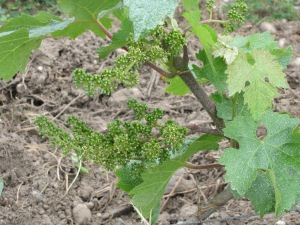 Flowering on the grapevines