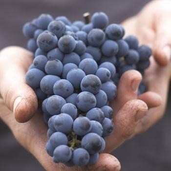 grapesbloom