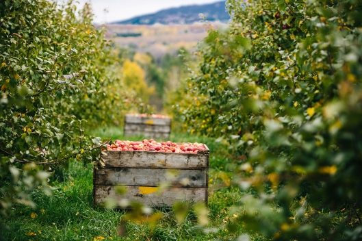 Close up of apples in wood crate in apple orchard